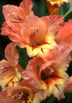 Starface  gladiolus, 1960 http://www.oldhousegardens.com