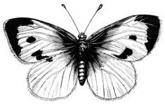 vintage butterfly clipart, black and white illustration, large cabbage butterfly, digital stamp butterfly