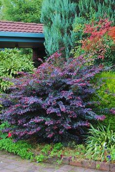 Loropetalum Purple Prince zone 7