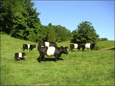 Belted Galloway Cattle is certainly a breed that has garnered itself this excellent reputation, for all the many wonderful qualities in the breed description. And besides, what cattle fancier could resist the Oreo cookie Cow Black Animals, Farm Animals, Cute Animals, Belgian Blue Cattle, Galloway Cattle, Breeds Of Cows, Miniature Cattle, Black Cow, Beef Cattle