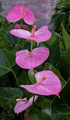 Anthurium (Pink) Plant of the Main Conservatory at Longwood Gardens of Kennett Square