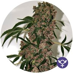 Girl Scout Cookies XTRM Feminised Seeds by the cannabis breeder The Bulldog Seedbank, is a Photoperiod Feminised marijuana strain.This Feminised seed grows well in Indoors conditions.This strain has White Widow XTRM x Girl Scout Cookies Genetics. It has a High (15-20%) THC Content. The CBD content of the strain is High (5% +).This strain can be used to treat a variety of medical conditions including, Lack of Appetite, Nausea, Pain. The user can benefit from a Yes.