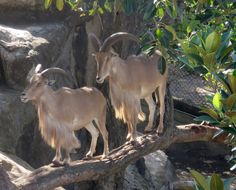 Goats in a tree!