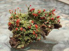 Live British Soldier Cladonia Lichen