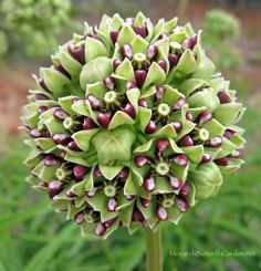 25+ Milkweed Plants for your Butterfly Garden and where to Find Them.