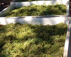 Chardonnay waiting for the press