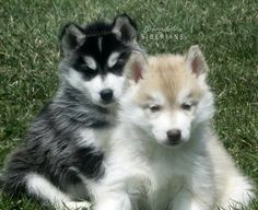 Two Siberian Husky Puppies!  2 Brothers, littermates.  Black Siberian Husky puppy and red Siberian Husky Puppy.