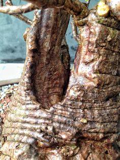 Dwarf Jade Bonsai Techniques – Adam's Art and Bonsai Blog Bonsai Pruning, Bonsai Soil, Bonsai Garden, Bonsai Tree Care, Bonsai Art, Bonsai Trees, How To Grow Bonsai, Jade Bonsai, Start Of Winter