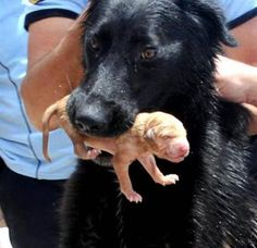 Dog Mother rescue her babies , she became a HERO