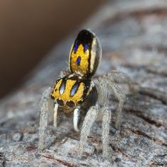 Incredible Photos of Peacock Spiders