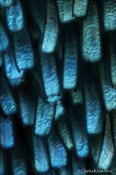The wing scales of the Prola beauty butterfly, Panacea prola, in macro by Charles Krebs, 2012