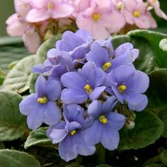 African violets >> One of the few plants I do not kill! I love these beauties!!
