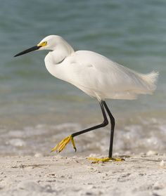 Snowy Egret on the beach in Florida | Flickr - Photo Sharing!