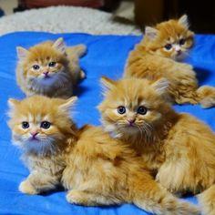 マンチカン子猫の茶色い軍団(^-^) の画像|マンチカンズと仲間たち(短足猫のマンチカンの画像と動画)  Munchkin kitten