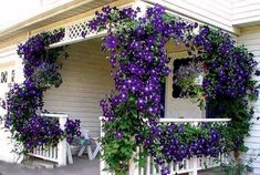 what flowering vines are best for your zone, gardening, landscape, outdoor living, Clematis via Midnight Musings