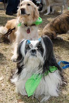 Tidbit in front and Happy in back are Fine Canine Drill Team Dogs and Therapy Dogs too!  #shihtzu #therapydogs #cutedogs