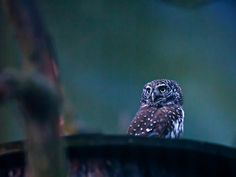 Great Pygmy owl shot by Timo Leppäharju (http://www.flickr.com/photos/leppisnet/8197617856/lightbox/) #owl