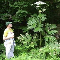 Giant Hogweed on the loose. Can cause burns or blindness