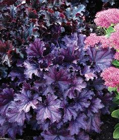 Heuchera (Coral Bells) 'Forever Purple' has vibrant and glossy purple foilage and purple-pink summer-borne flowers. These large, ultra-purple evergreen leaves pair well with yellow tones. The flowers bloom may-sept. Shade Perennials, Flowers Perennials, Shade Plants, Planting Flowers, Flowers Garden, Blooming Flowers, Shade Garden, Garden Plants, Purple Garden