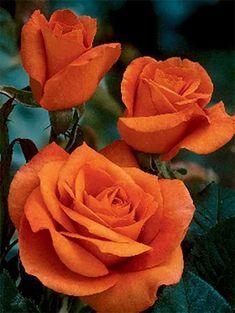 Maria Stern Rose