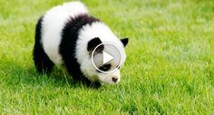 Cão ou Panda?! Dono De Loja De Animais Pinta Cães Para Ficarem Iguais Aos Pandas http://www.desconcertante.com/cao-panda-dono-loja-animais-pinta-caes-ficarem-iguais-pandas/