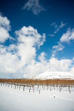 Vineyards . Golan Heights . Israel