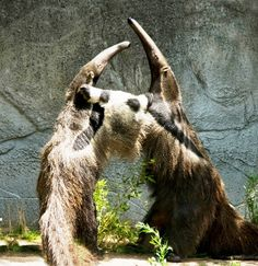 """Let's hug it out!"" Giant anteaters at the Detroit Zoo put on a show for visitors. (Photo by Kathi Horste)"