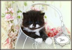 Black and White Teacup Persian Kitte