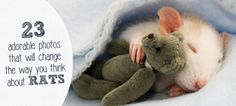 These cute rats cuddle with anything, from teddy bears to mittens. #rats #animals #pets