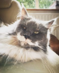 Blue tortie with white Maine coon - Thea http://www.mainecoonguide.com/male-vs-female-maine-coons/