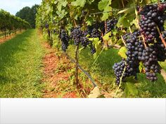 North Carolina is home to more than 90 wineries and ranks 7th in the US in wine production