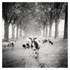 Gerald Berghammer, Ina Forstinger - Shaun the Sheep Study Netherlands - Black and White Fine Art Animals Images Fine Art Photography, Landscape Photography, Panorama Camera, Shaun The Sheep, Powerful Images, Animals Images, Fine Art Paper, Black And White Photography, Netherlands