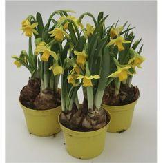 3 pottstilbud på Narcices (Mini-Påskeliljer) TETE A TETE