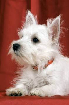 West Highland White Terrier - Have always wanted one.