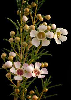 'Geraldton Wax Flower' by Tony Cave Australian Wildflowers, Australian Native Flowers, Australian Plants, Wax Flowers, Beautiful Flowers, Cool Flowers, Colorful Flowers, Purple Flowers, Australian Native Garden