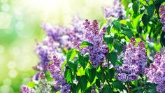 10 Heavenly Smelling Plants for Your Yard - Page 9 Lilac Bushes smell heavenly and are fairly easy to maintain. Plant in the spring or fall in a spot with plenty of afternoon sun and well-drained soil. Flowering Bushes, Lilac Bushes, Trees And Shrubs, Garden Shrubs, Garden Plants, Indoor Plants, Ikebana Flower Arrangement, Hummingbird Garden, Organic Herbs