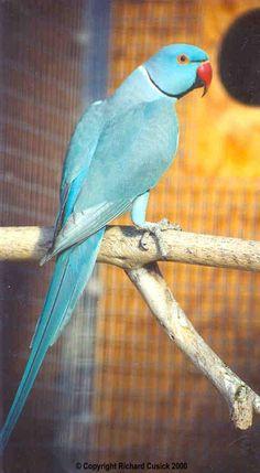 Blue Indian Ringneck Parrot #blue #birds #parrots #pets #animals