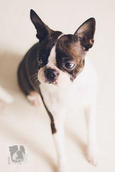 Louie Girl. Boston Terrier