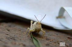 Grasshopper by DANC-Photo-Art-Music on @DeviantArt