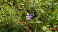 Sisyrinchium montanum , familia Iridaceae, denumire populară  iarba cu ochi albastri