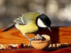 Nejlepší směsi pro ptáky jsou ty, ve kterých jsou převážně semena slunečnice Great Tit, Blue Tit, Chickadees, Birds, Animals, Animais, Animales, Animaux, Willow Tit