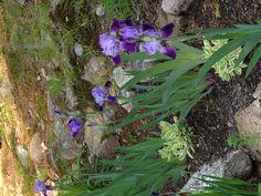 Rock Garden- Iris & Sedum
