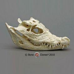Dwarf Crocodile Skull - Bone Clones, Inc. - Osteological Reproductions