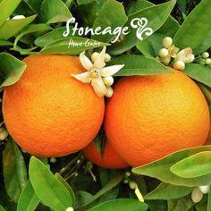 Orange or Lemon Citrus Trees with Optional Decorative Pots Orange Essential Oil, Organic Essential Oils, Citrus Trees, Fruit Trees, Orange Trees, Valley Nursery, Comment Planter, Green Fruit, Oranges And Lemons