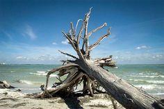 """DESTINOS: Sanibel, Flórida, é uma ilha localizada no condado de Lee. Com menos de dez mil habitantes, possui praias de areias brancas, muitos coqueiros e água azul cristalina. Além de pelicanos, garças e os """"tesouros do mar"""", conchas coloridas de tom pastel, possui excelentes restaurantes, hotéis, campos de golfe, pesca, passeios de barco, ciclovias e canoagem. Aqui, a diversão é garantida! __________________________ www.madeoftravel.com  #travel #traveling #sanibelisland #florida #vacation…"""