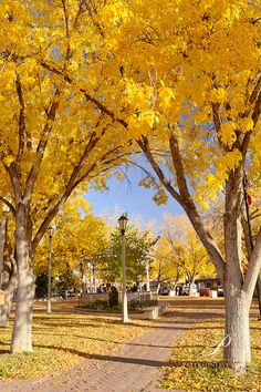Cottonwood gold fall colors in Old Town Plaze, Albuquerque, New Mexico.