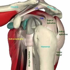 Exercises for Rotator Cuff Tendinitis. The rotator cuff is where four groups of tendons form a cap a Shoulder Rehab, Shoulder Surgery, Shoulder Problem, Shoulder Anatomy, Rotator Cuff Exercises, Shoulder Injuries, Frozen Shoulder, Muscle Anatomy, Shoulder Workout