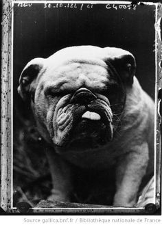 Bulldog by Agence de presse Meurisse, 1936. National Library of France, Public Domain