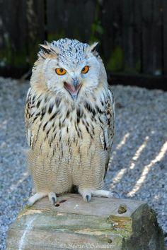 Siberian Eagle Owl.