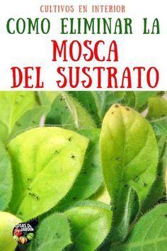 Como Eliminar La Mosca Del Sustrato En Interiores Mosca Del Suelo Control Organico Cosas Del Jardin Como Eliminar Mosquitos Plagas En Las Plantas Eliminar Las Moscas
